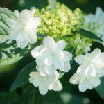 白い紫陽花は母の日プレゼントにOK?毒があるって本当なの?