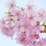 【愛知県】桜が見れるカフェ!店内から桜のお花見をできるお店