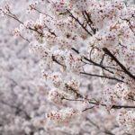 【まぢ穴場】名古屋桜の知る人ぞ知るお花見スポット/南部編