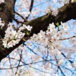 【岐阜県】5月に咲く桜・GWお花見スポット!5月上旬~中旬